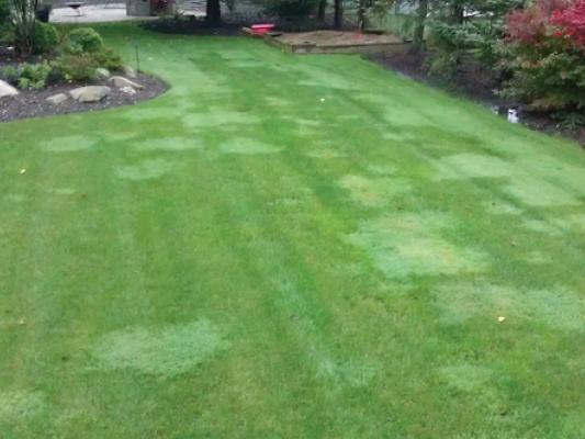 eliminating Creeping bentgrass